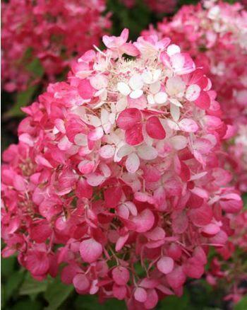 Hortensia paniculé 'Diamant Rouge' Hydrangea paniculata