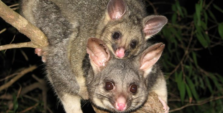 1000 images about out get out rats possums on - How to get rid of possums in the garden ...