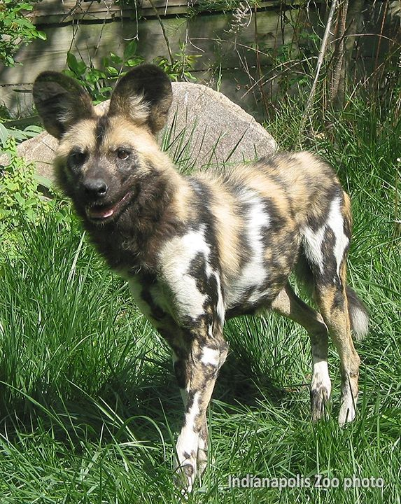 """African Wild Dog. The latin name for wild dog means """"painted wolf"""" and each animal has its own unique coat pattern."""