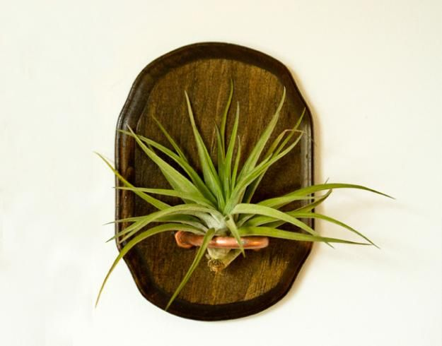 81 best images about air plant display ideas on pinterest for Air plant holder ideas