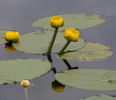 how to grow water lilies inside