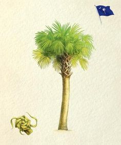 """History Lesson - The Palmetto Tree. Its strength in battle during the Revolutionary War earned this indigenous plant a spot on the South Carolina flag and seal, and later, recognition as our state tree. Find out what the Sabal palmetto—the same wind-, salt-, and drought-resistant tree that got us dubbed the """"Palmetto State""""—is made of and how it's influenced local culture over the years // yeahTHATgreenville"""