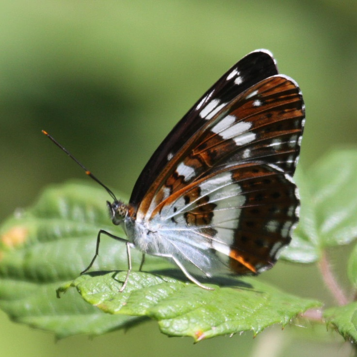 17 Best White Admiral Butterfly Images On Pinterest