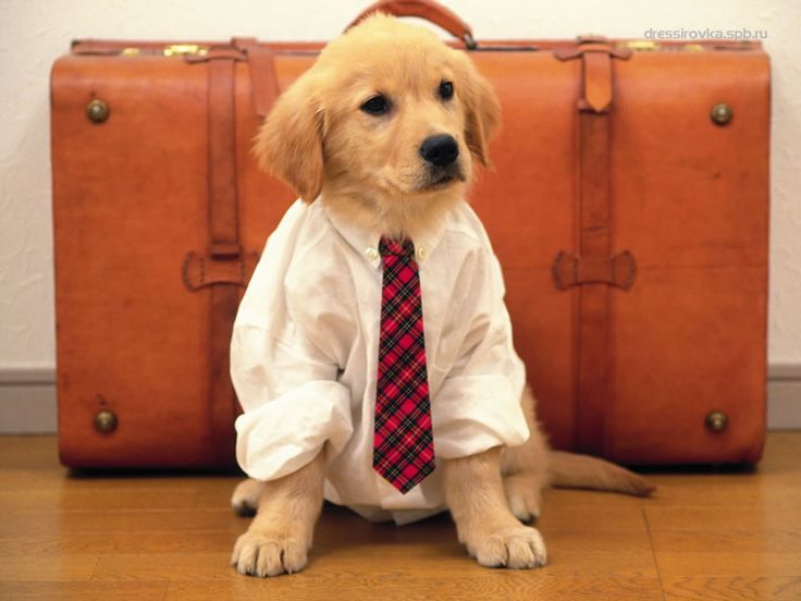 This golden retriever puppy is all business.