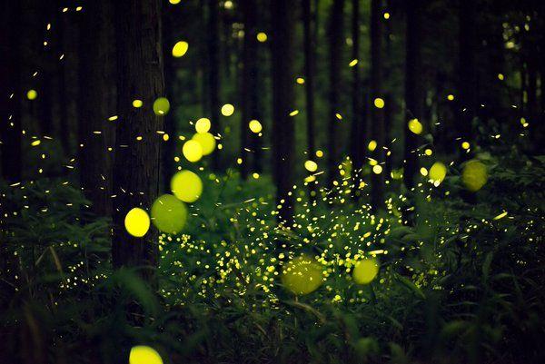 ながさきねこ(@ngsneko)さん | Twitter 光の中で 見えないものが 闇の中に うかんで見える /*熊本のホタルは今年も元気に 舞ってくれていました*/