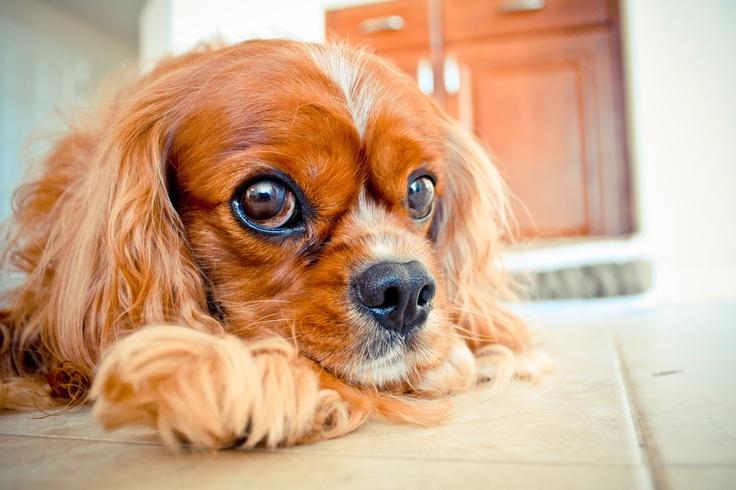 Cavalier King Charles - Dog Photography