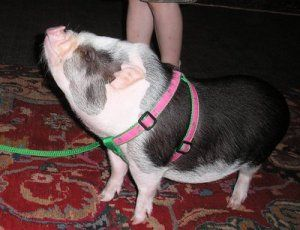 Harness training your pot belly pig is much easier then it may seem. Pot belly pigs are extremely smart and can pick up on new things very easily if you know how to teach them correctly. Remember t…