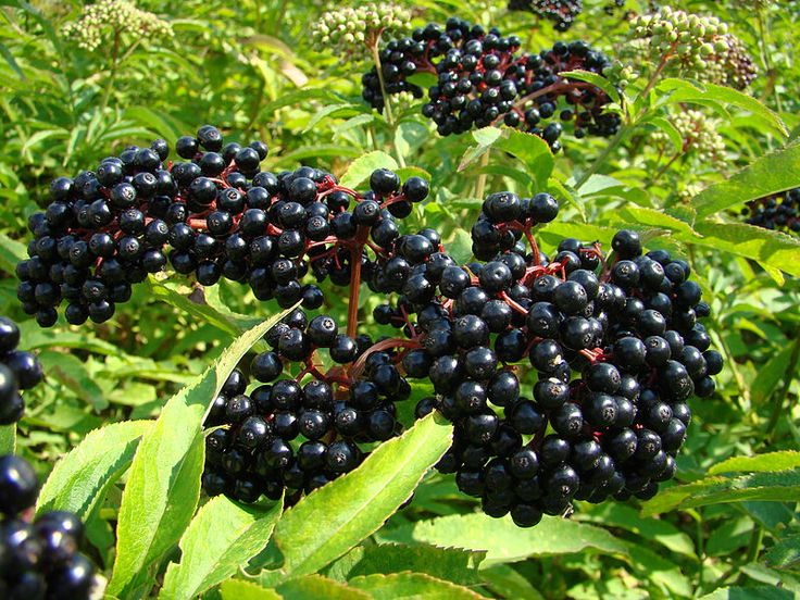 http://commons.wikimedia.org/wiki/File:Sambucus-berries.jpg?uselang=nb