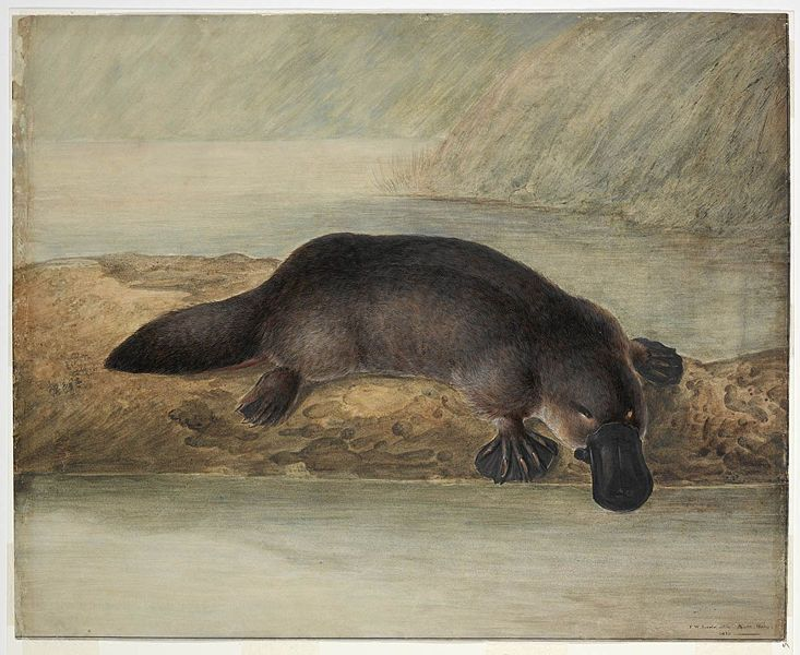 History of understanding of the Platypus, Platypus classification