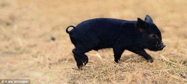 This Little Piggy Stays At Home Meet The House Trained Micro Pigs Hausschwein Kleine Schweine Schwarzes Schwein