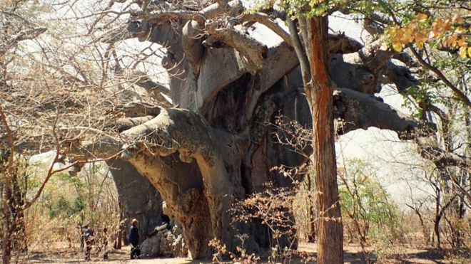 Scientists shocked by mysterious deaths of ancient trees - Mysterious Times