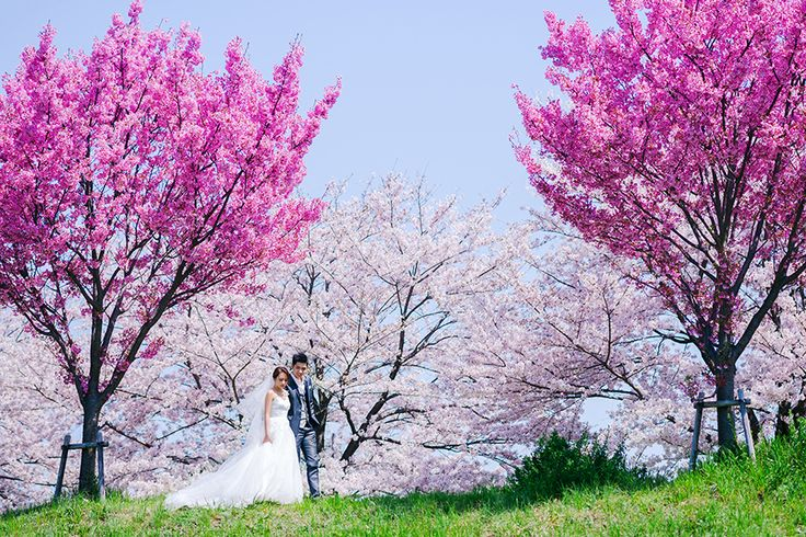 Springtime wedding photoshoot amidst cherry blossoms // Spring in Kyoto: Claude and Clarabelle's Sakura Engagement