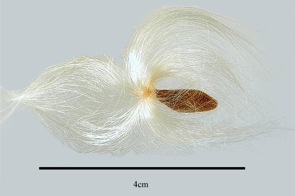 http://www.ars-grin.gov/npgs/images/sbml/Beaumontia_grandiflora_seed.jpg