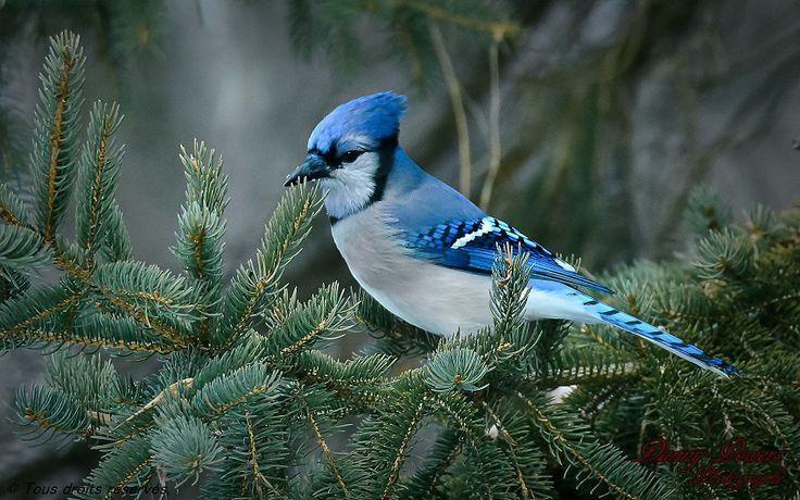 https://dannypowers.wordpress.com/oiseaux/geai-bleu/