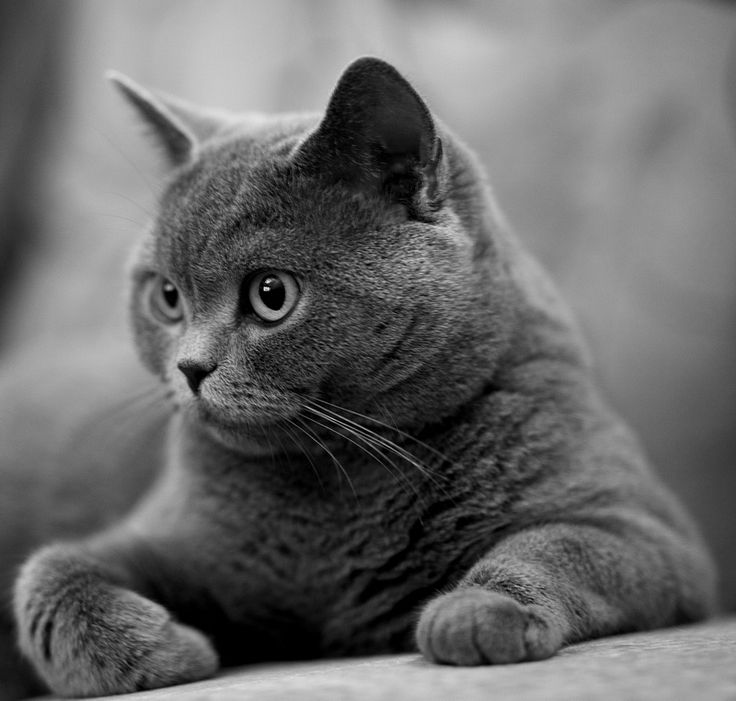 фото серые кошки