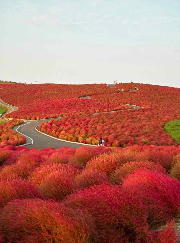 Красное перекати-поле