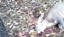 Video: Deer Hunter Gets a Surprise