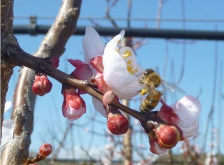 While Spain is assessing the damage caused by frost on the early varieties, Italy is hopeful as winter hasn't been particularly cold, explains agronomist Maurizio Simone.Early peach and nectarine varieties (Early Bomba, Francoise, Big Top, etc.) are already blossoming, just like the first.....