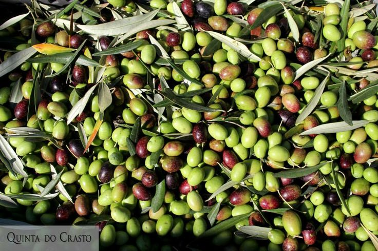 Picking up #olives at #QuintadoCrasto. © Luís Gomes. 2013.