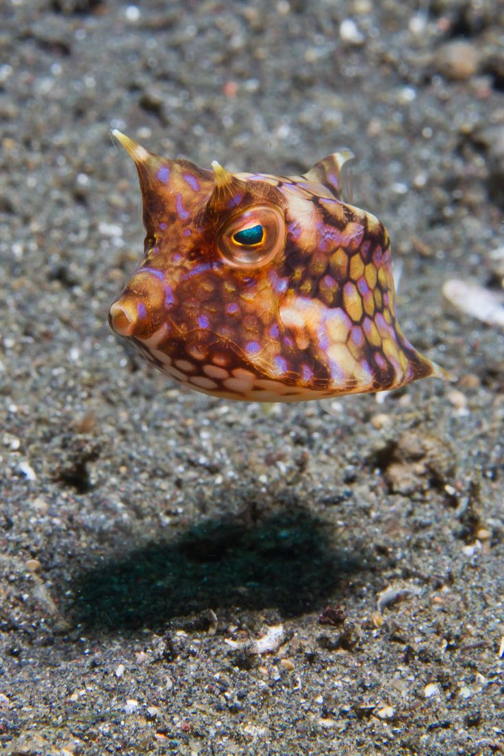 This is actually a little longhorn cowfish. It's a type of box fish, I think. See the little horns at the top?  It has two little horns at the bottom in back as well.