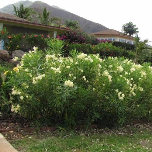 Nerium oleander lutea Oleandro amarelo