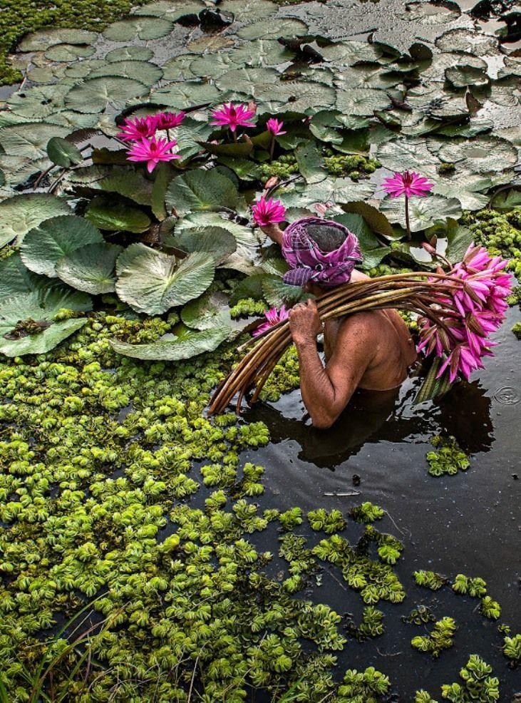 "arjuna-vallabha: "" gathering water lilies """