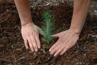 How To Grow A Pine Tree From Seed - Growing pine and fir trees from seed can be a challenge to say the least. However, with a little (actually a lot) of patience and determination, it is possible to find success when growing pine and fir trees. Let's take a look at how to grow a pine tree from seed.
