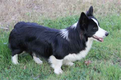 OMG!  My favorite (border collie) and Scott's favorite (corgi) mixed together!!!  I WANT ONE!!!