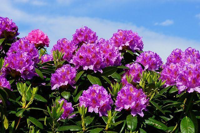 Rhododendron Pflege, Pflanzung & Integration in den Japan Garten