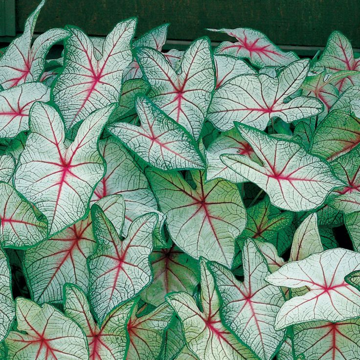 White Queen Caladium Bulbs To Go Around Our Crepe Myrtle · Shade FlowersShade  PlantsFlower ...