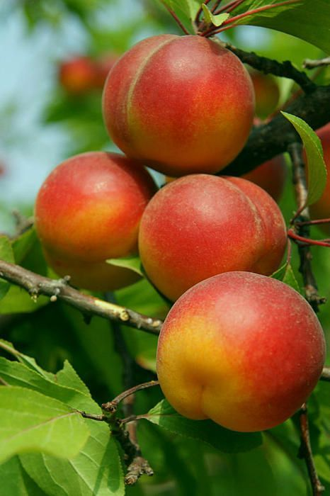 Fortune plums: