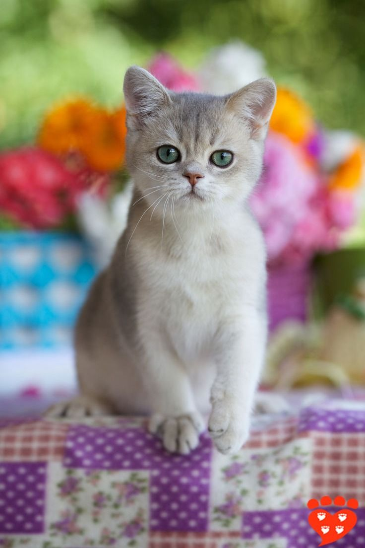 Does Your Cat Loves You Kitten Care Cute Baby Cats Calico Cat Facts