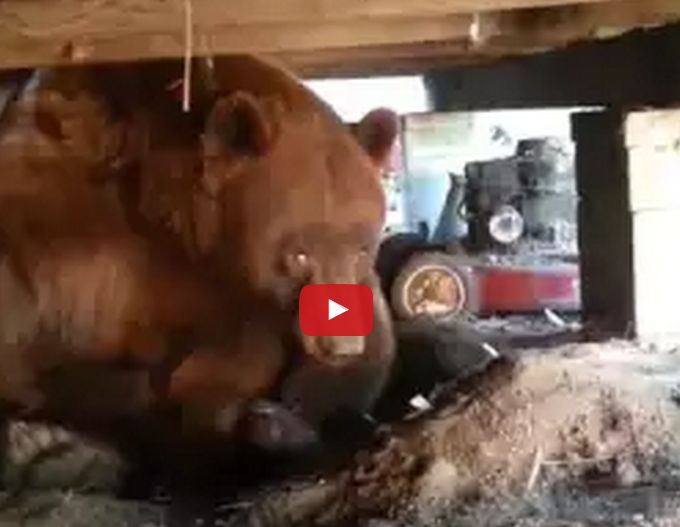 Scary Video As Bear Gets Up Close