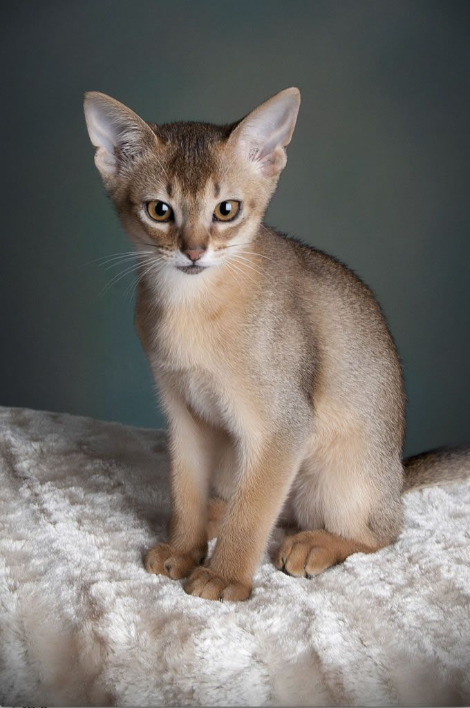 Abyssinian Kitten - The Abyssinian is one of the oldest breeds of pedigree cat and was one of those exhibited at the very first cat show held at the Crystal Palace in 1871. It is generally agreed that this breed originated in Egypt, and certainly the ticked coat pattern would have been the perfect camouflage for wild cats living in the dry, scrubby North African habitat.