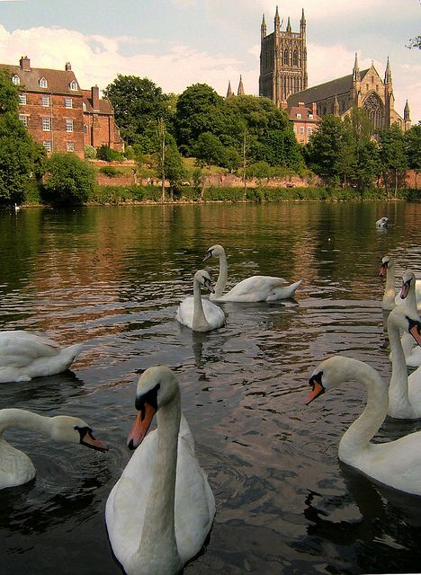 Worcester Cathedral, Swans