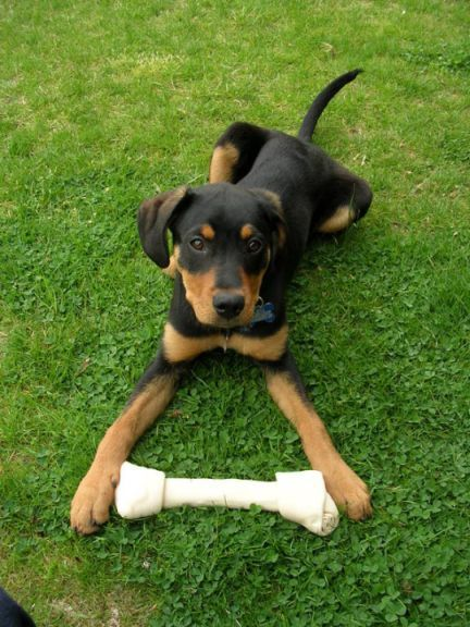 rot and lab mized puppies | Mixed Breed Puppy- what do you think this is??? Doberman? Rottweiler ...