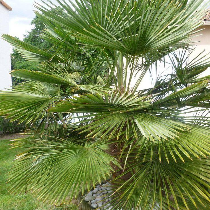 Chamaerops excelsa - Palmier Trachycarpus