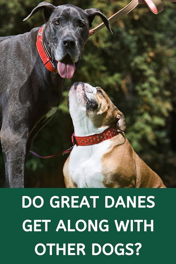 Great Dane Are Truly Massive Dogs If You Have Other Pets You May