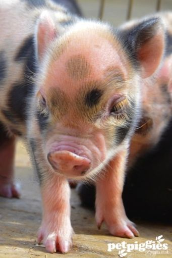 micro piglet                                                                                                                                                                                 More