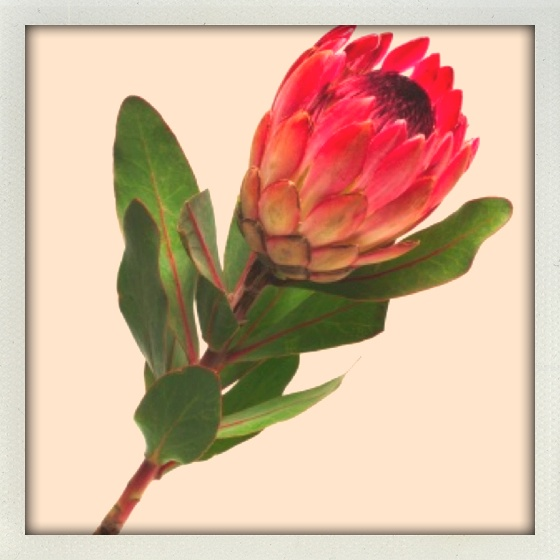 Protea est pretty.