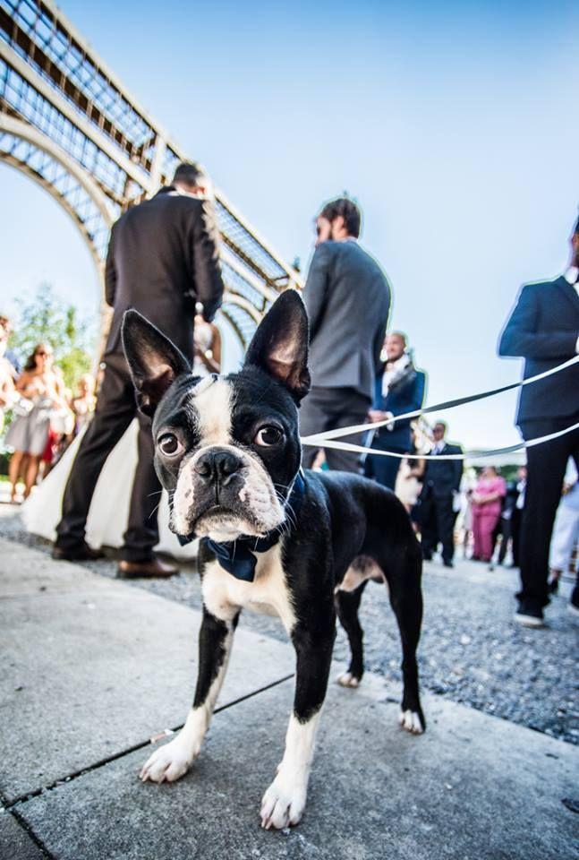 Hi :) I´m Stingo from Czech republic. I'm 1 year old. #BostonTerrier #Dogs