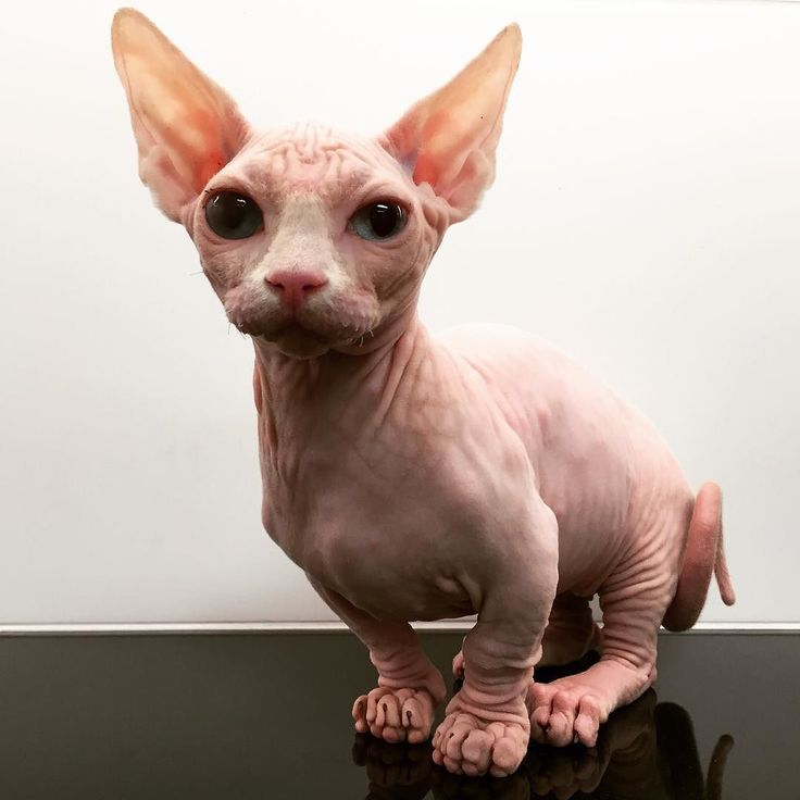 Have you ever seen that breed? It's a Bambino hairless cat a cross breed between a Sphynx and a Munchkin cat! #veterinary #dermatology #cat #catsofinstagram #sphynx #munchkin #bambino #hairlesscat #vetsnobiety #vetmedworld #alien #yoda by ngojerome