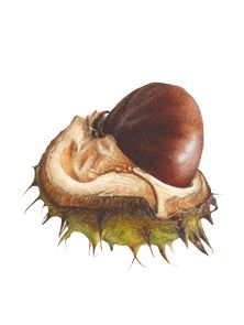 Conker Glenbervie Watercolour by Fiona Stricklandtoatlly Awesome illustrations!