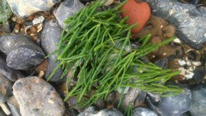 Train your children to recognise Samphire by providing them with a laminated photo of the plant. Send them off with a cloth bag or basket. They'll enjoy eating dinner all the more because they gathered it themselves!