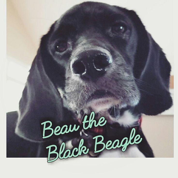 Follow on IG @beau_the_black_beagle  Beagle obsessed...