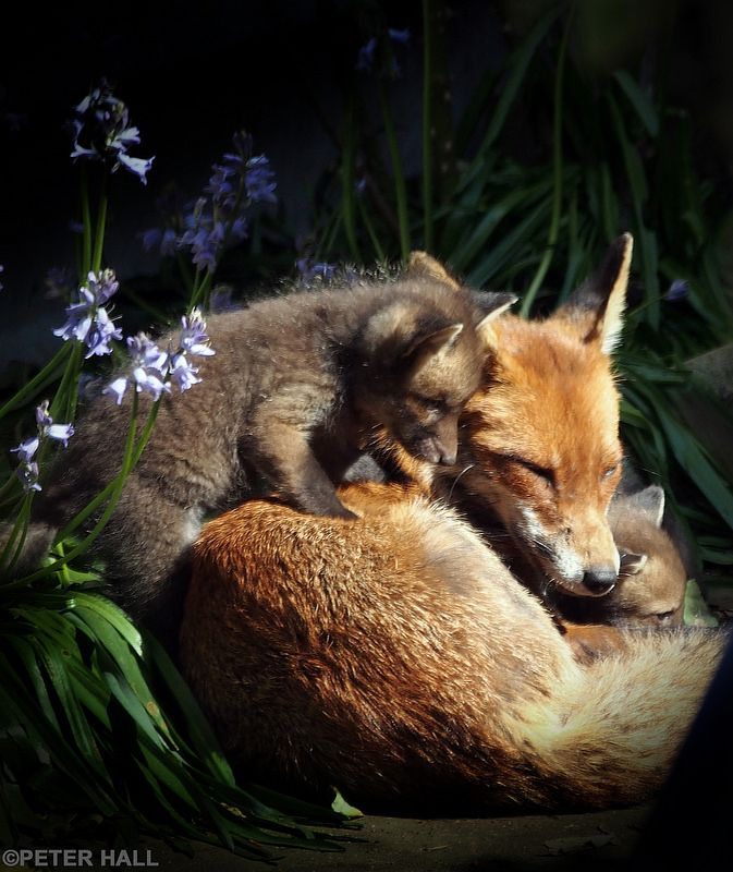 Red Foxes by peterphotographic