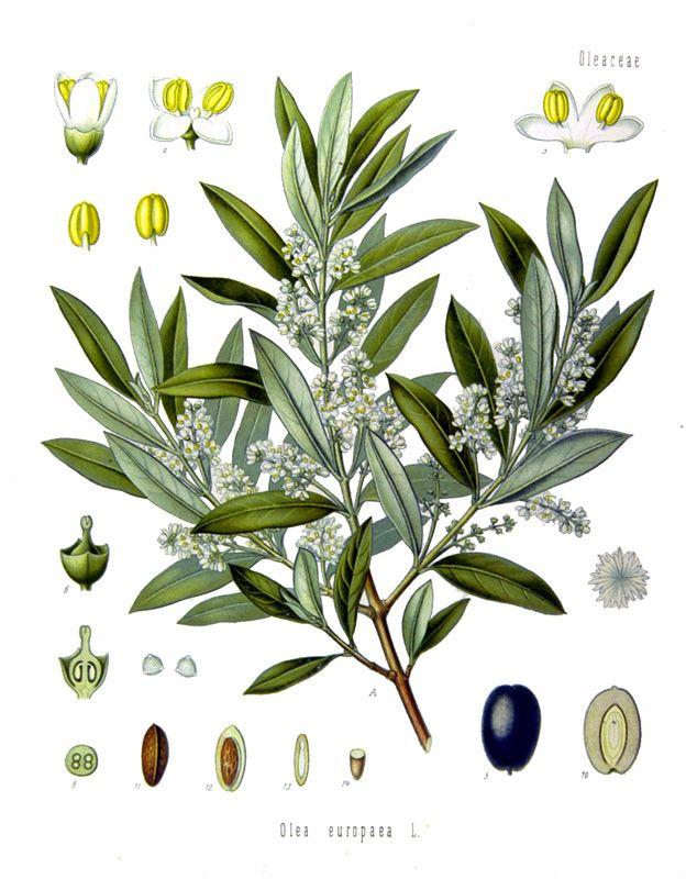 olive-branch.jpg 624×800 pixels