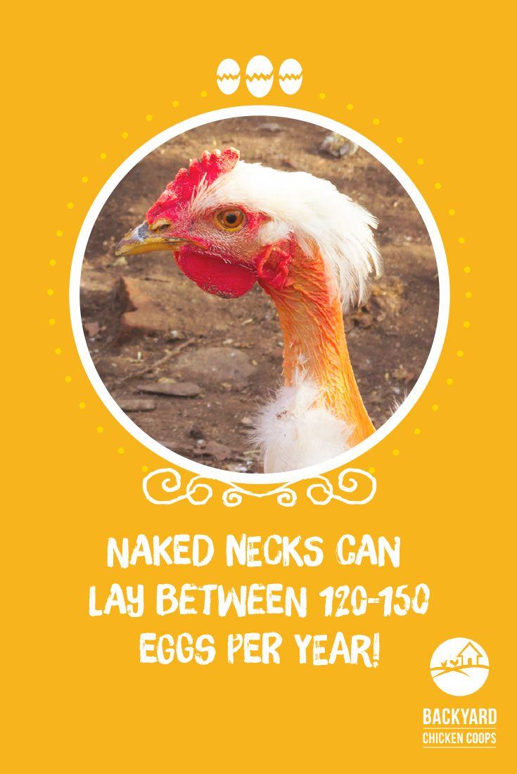 27 best neck chickens images on pinterest chicken breeds