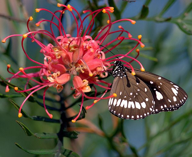 Plants with long, tubular flowers, such as grevillia, will help to attract butterflies. Photo: Thinkstock