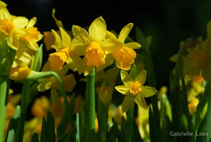 You can never get enough of bulbs.  Here we have a tiny bulb called Tete tete.